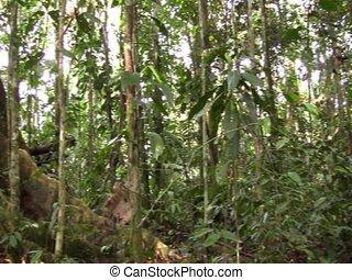 grand arbre, racines, soutien, rainforest