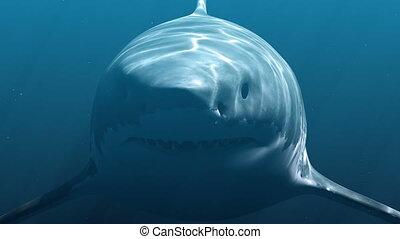 grand blanc, (megalodon), requin