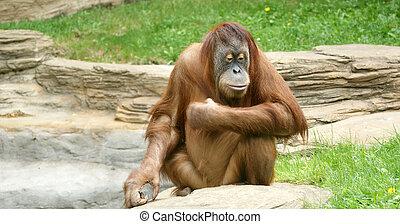 grand, grand, image, terrible, orang-outan