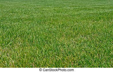 grand, herbe