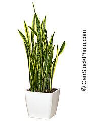 grand, houseplant, pot, blanc, sansevieriya