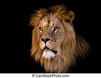 grand, lion, mâle, africaine