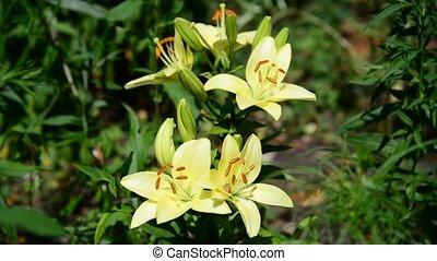 grand, lis, parterre fleurs, varietal, jaune