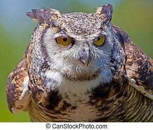 grand, owl., cornu