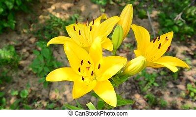 grand, parterre fleurs, lis, jaune