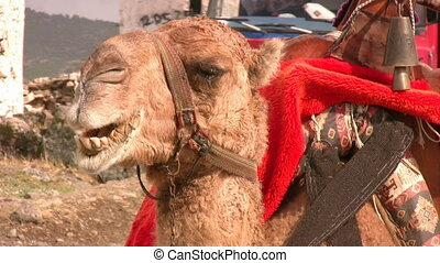 grand plan, chameau