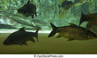 grand, public, fish, vidéo, ultrahd, pangasius, aquarium., autre