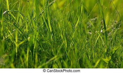 grande herbe, arrière-plan vert