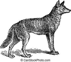 gravure, gris, vendange, loup, canis, ou, lupus