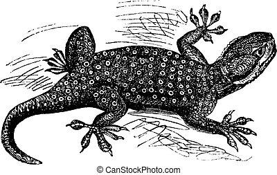 gravure, guttatus, vendange, sinaï, fan-fingered, ptyodactylus, gecko, ou