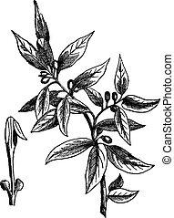 gravure, nobilis), doux, feuilles, baie, (laurus, vendange, baie, ou