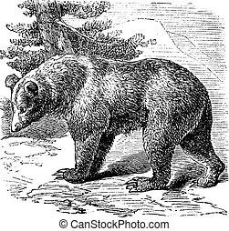 gravure, ours, occidentalis), cannelle, (ursus, vendange