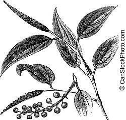 gravure, poivre, java, cubeba, vendange, joueur pipeau, cubeb, filé, ou