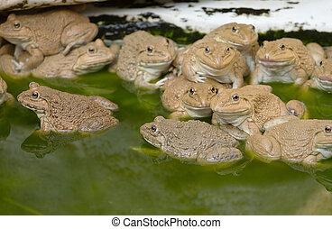 grenouille étang