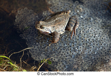 grenouille commune
