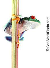grenouille yeux rouges arbre