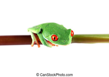 grenouille yeux rouges arbre, tige