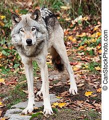 gris, regarder, appareil photo, loup, diminuez jour