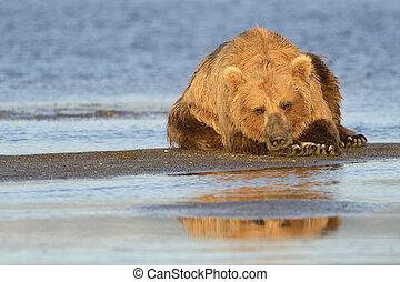 grisonnant, plage, ours, délassant