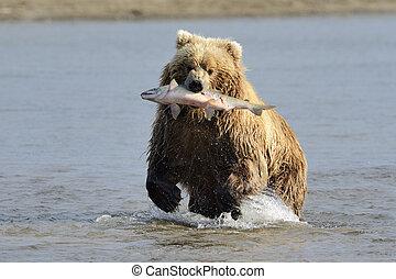 grisonnant, saumon, attrapé, ours