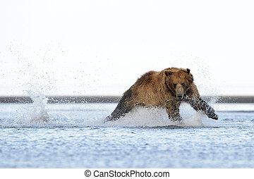 grisonnant, saumon, courant, ours