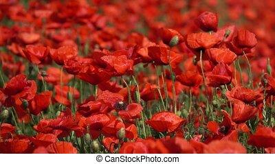 gros plan, été, pavot, fleurs, temps, rouges