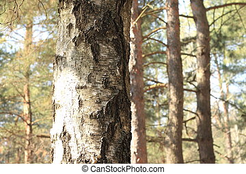 gros plan, coffre, arbre, forêt pin, bouleau