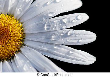 gros plan, fleur, dof, macro, peu profond, isolé, foyer, eau, drops., pâquerette, black.