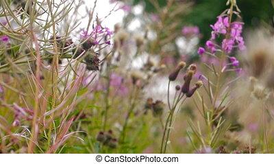 gros plan, fleurs, vidéo, hi-def, fireweed