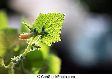 gros plan, macro, leaf., jeune, concombre, plante