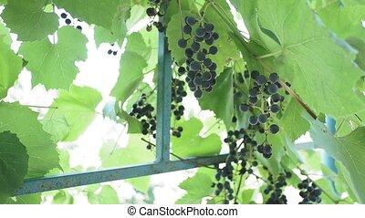 gros plan, vin, automne, arrière-plan., noir, lumière soleil, naturel, fruit, croissant, jus, raisins, organique, clair