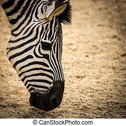gros plan, zebra