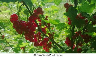 groseille, baies rouges, jardin