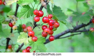 groseille, jardin, branche, rouges