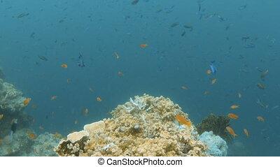 groupé, fish, corail