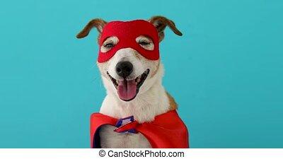 héros, chien, super, déguisement
