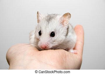 hamster, main