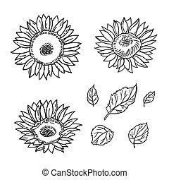 handdrawn, isolé, tournesols, noir, vecteur, illustration, blanc, leaves.