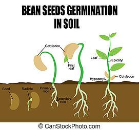 haricot, graines, germination, séquence