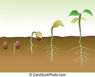 haricot, squence, graine, germination