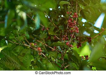 haricots, branche, café