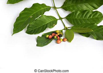 haricots, café, vert, branche