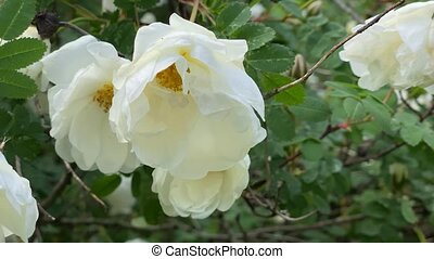 haut, blanc, mouvement, sauvage, vent, 4k, fin, roses, jardin, vidéo