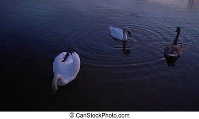 haut, cygnes, fin, blanc, rang, lac, nager