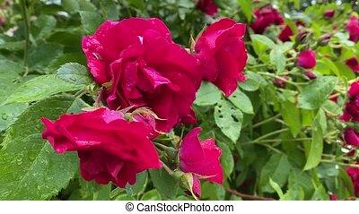 haut, mouvement, rouges, sauvage, vent, 4k, fin, roses, jardin, vidéo
