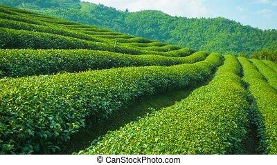 haut., pays montagne, thé, thaïlande, croissant, fin