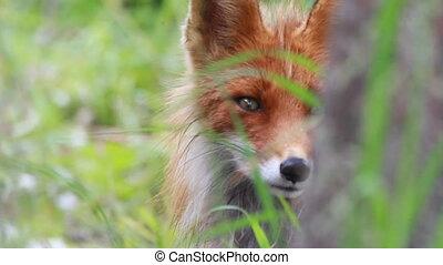 haut, renard rouge, fin