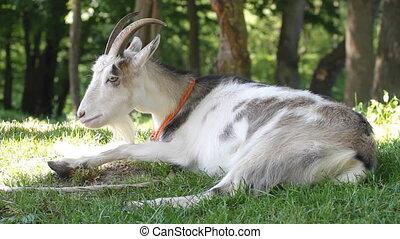 herbe, chèvre