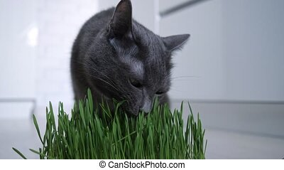 herbe, chat, vert, pot, développé, manger, gris