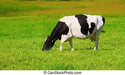 herbe, mange, vache